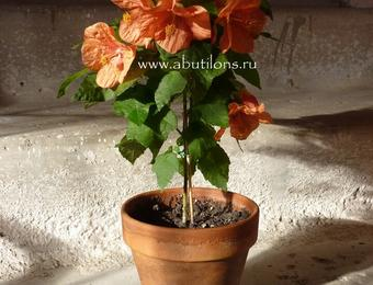 Абутилон Чайная розочка • Алины Шитовой