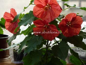 Абутилон улучшенный красный