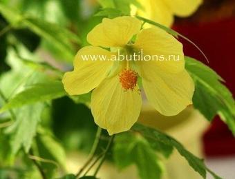 Абутилон Лимонный пунш
